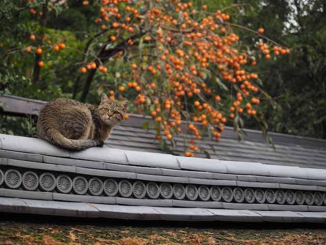 柿の木を背景に振り返る猫 by 岩合光昭