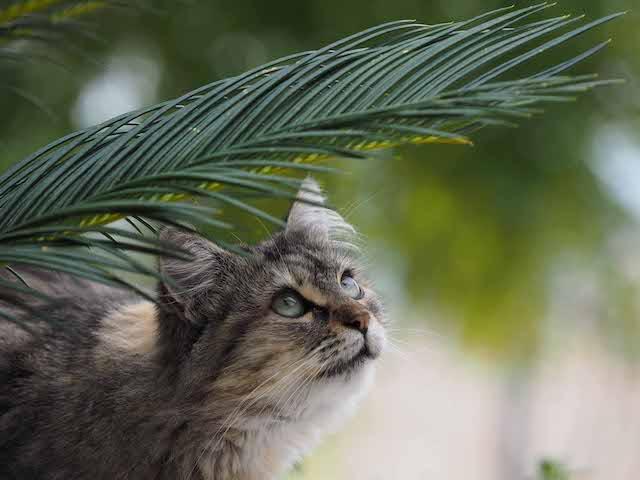 葉っぱの下から梅雨空を見上げる猫 by 岩合光昭
