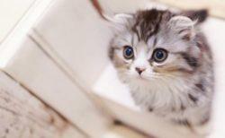 好きな猫種&猫柄ランキング2018が発表!猫種の1位はアメショが3連覇