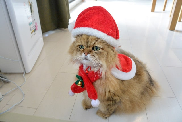 サンタクロースに扮したペルシャ猫 by 牧野直樹