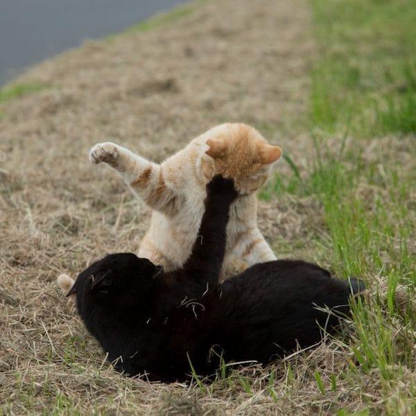 マウントポジションなのに下からパンチをもらってしまった茶トラ猫 by 残念すぎるネコ