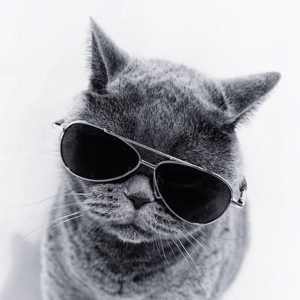 ボクシングの某会長に似ているサングラスをかけた猫