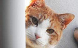 物陰からひょっこりと顔をだす猫のイメージ写真