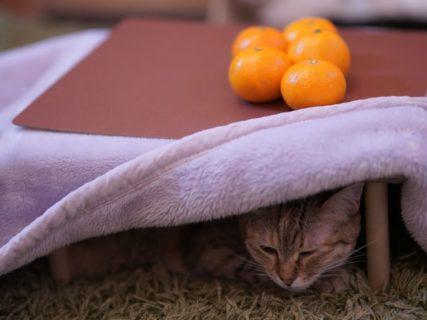 みかん5kgを買うと猫用のコタツが付いてくる!ユニークな和歌山みかんが発売中