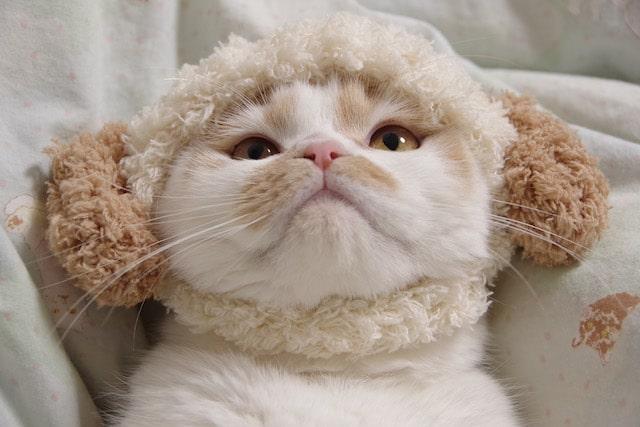 羊のかぶりものを被るちくわ柄の猫・ホイップ