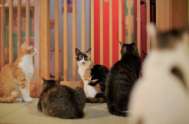 ネコリパブリック中野店にいる、ネコエイズウイルスに感染した猫たち「通称:りんご猫」