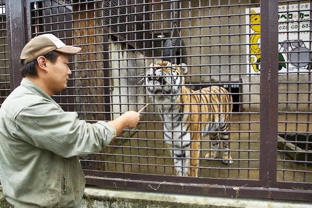 猫用オヤツ「ちゅ〜る」を食べようとするトラ