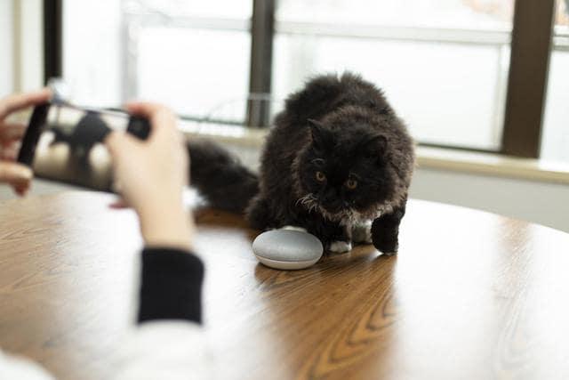 Googleアシスタント対応アプリ「ねこまねき」に興味を引かれた猫