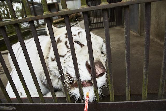 ネコ科の猛獣動物に猫用オヤツ「ちゅ〜る」を与える様子