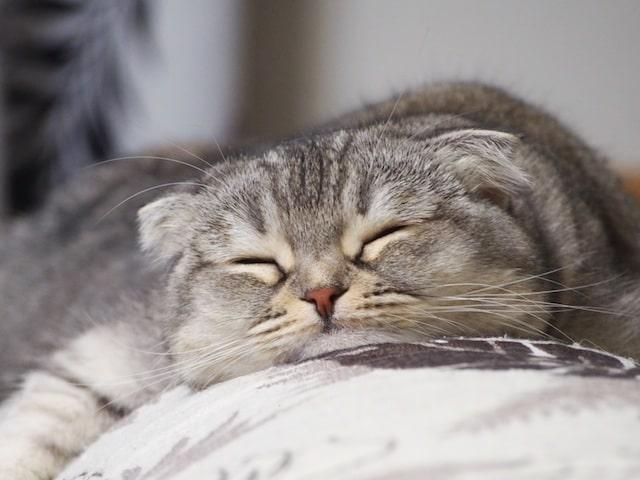 顎を付けて寝る猫 by @gohanpantsubu つぶまろ