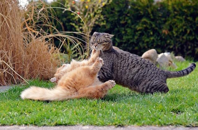 危険なタックルを仕掛ける猫