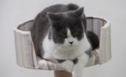 「わんにゃんドーム2019」に来場する世界の猫