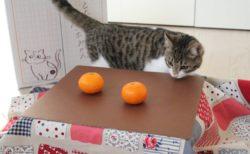 猫とコタツとミカンを一緒に撮影するニャ!猫に優しい「ネコ助けフォトコンテスト」が開催中