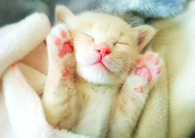 人気の猫・はなの寝顔 @loveko.hana