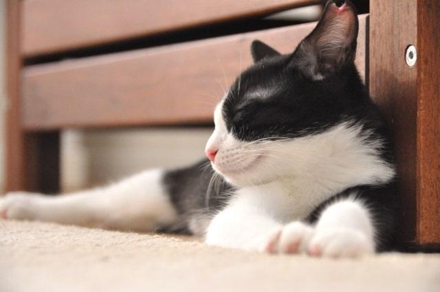 ハチワレの保護猫のイメージ写真