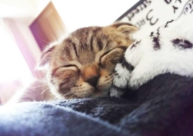 Instagramで人気の猫・てんちゃんの寝顔 @tenju1001