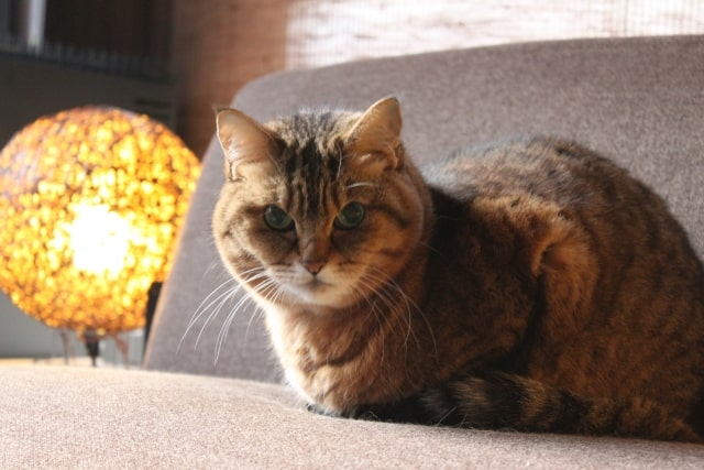 ソファに座る猫のイメージ写真
