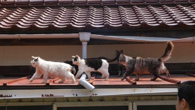 屋根の上を歩く猫の集団 by アニマルプラネット