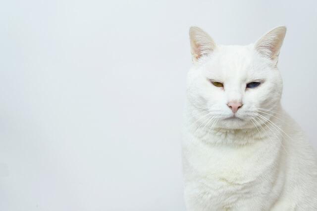 猫の日が待ち遠しい!?白猫のイメージ写真