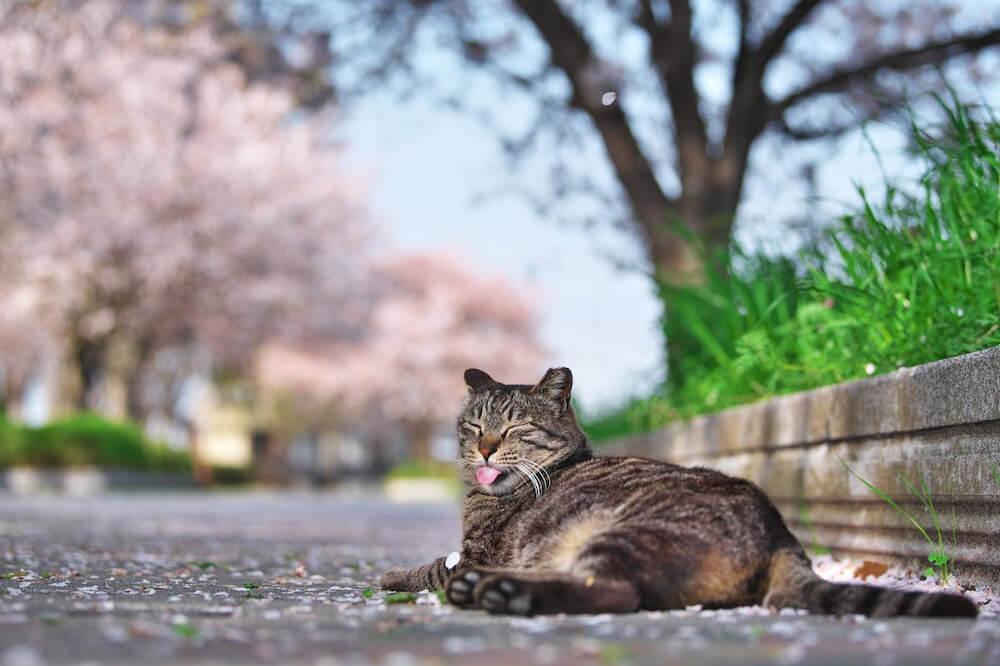 桜を背景に舌を出してくつろぐ猫 photo by teru