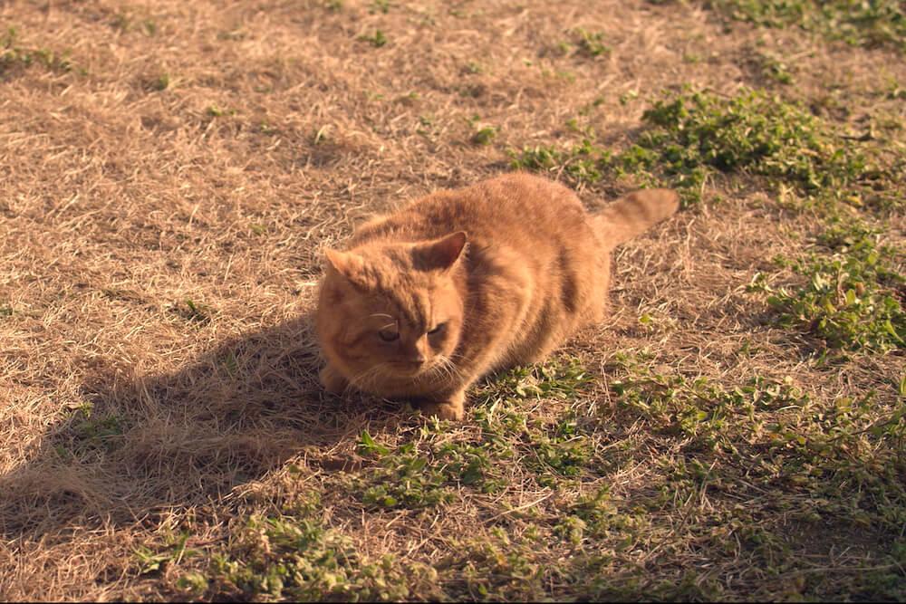 おんな城主 直虎の「にゃんけい」こと、茶トラ猫の「のん(ねことじいちゃんの「まろにー」役)」