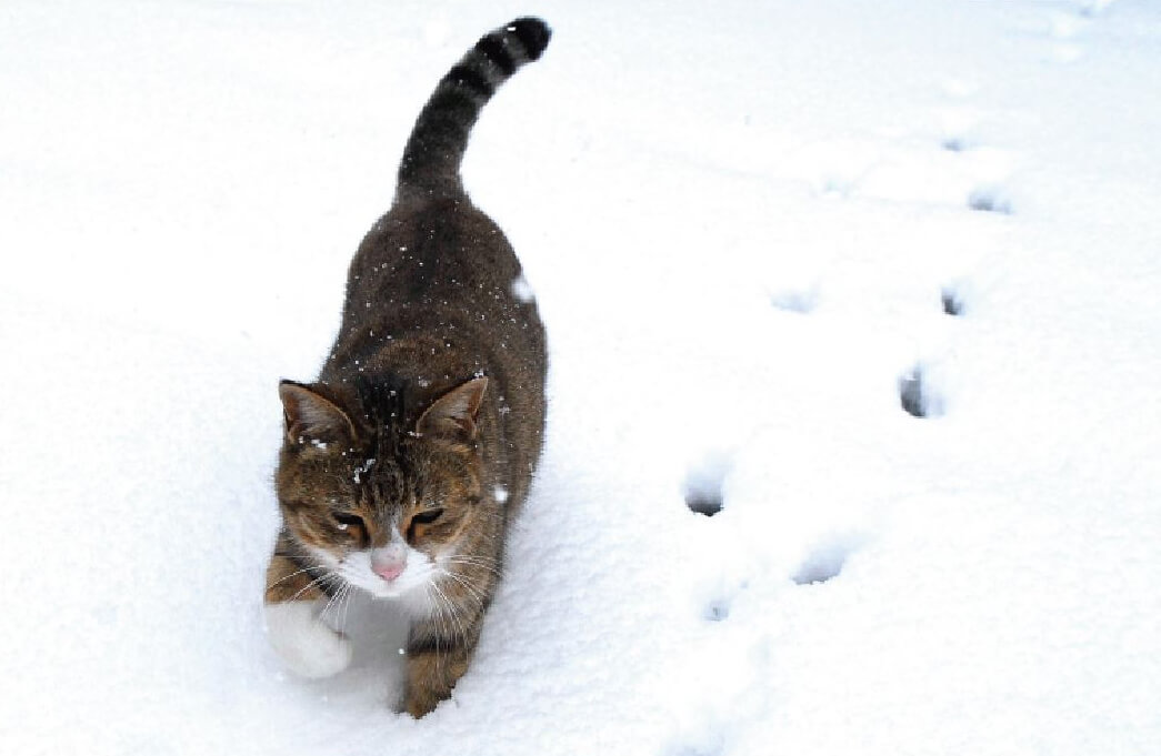 雪の上を歩く猫の写真 by 岩窪俊一