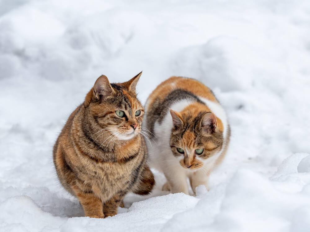 雪の上を歩く2匹の猫 photo by ねこしめ