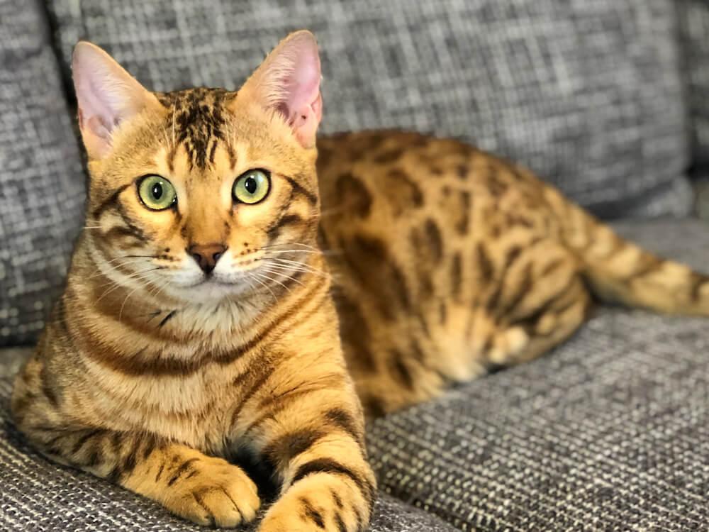 ベンガル猫のルイくん