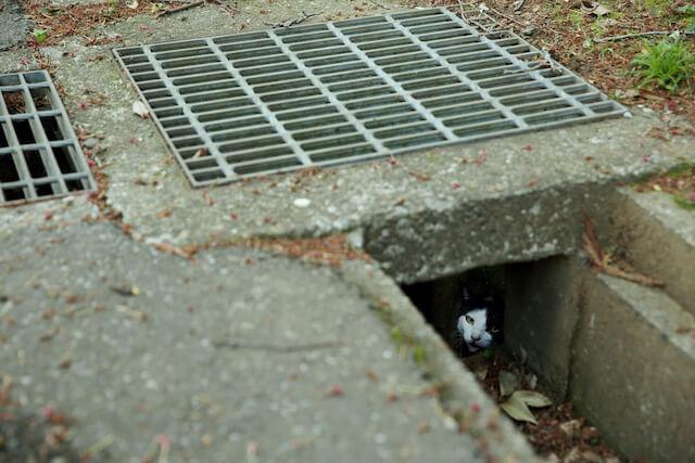 排水口の下から覗く地域猫 by 亀井拓也
