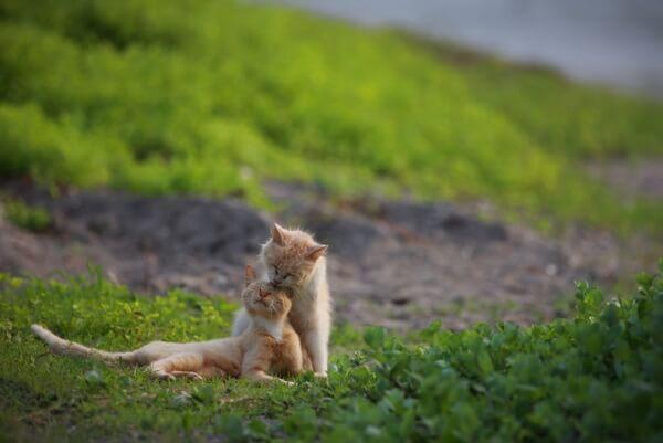 大佛次郎記念館の写真展で展示予定の猫写真