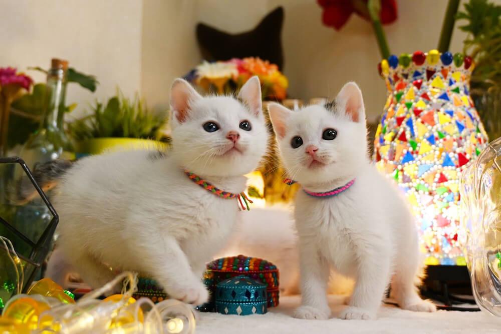 つぶらな瞳の2匹の子猫 photo by寝子
