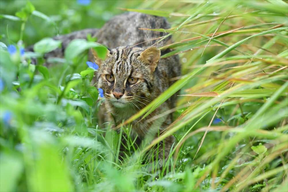 絶滅の危機に瀕しているネコ科動物「ツシマヤマネコ」