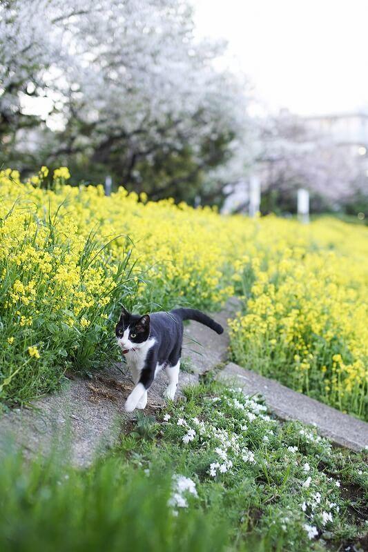菜の花畑を歩く猫の写真 by青木干城