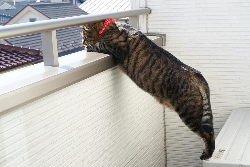 ベランダから外をひょっこり覗く猫 by ひょっこりdeにっこり賞受賞作品