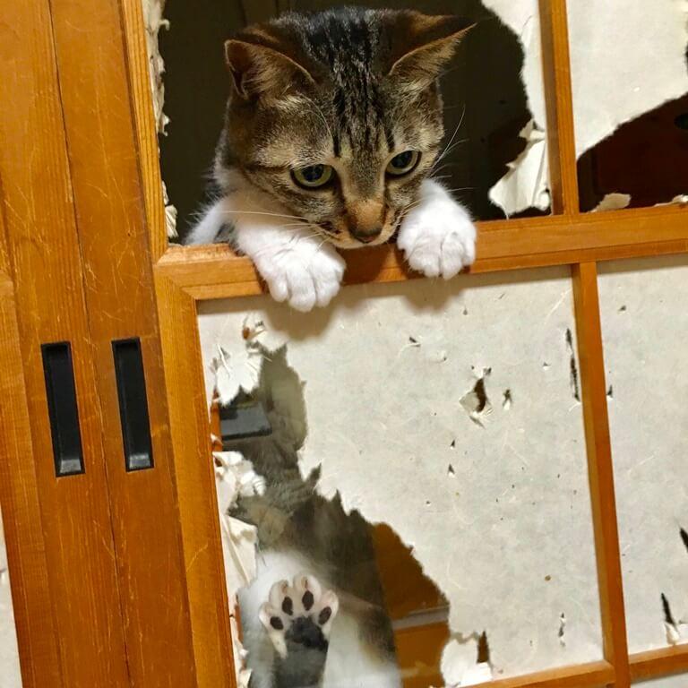 障子に穴を空けてひょっこり覗く猫 by ひょっこりdeにっこり賞受賞作品