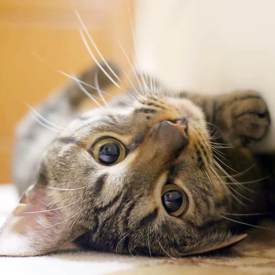 仰向けになった猫のアップ写真 byNONちゃん/@omoiyari810