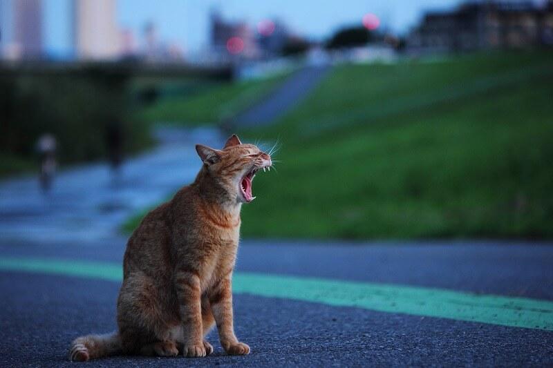東京の河川敷で大きなあくびをする猫の写真