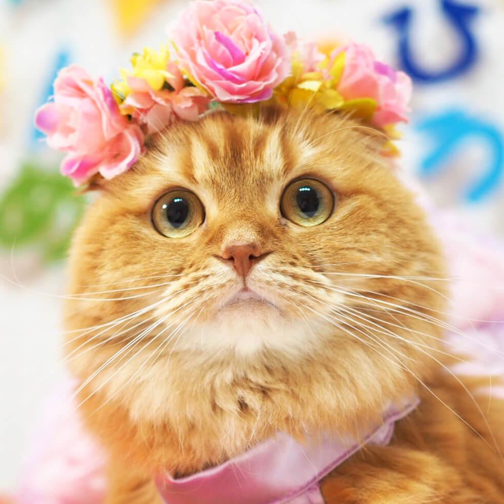 花冠をかぶった猫のアップ写真 by アンちゃん/@nyaomi3904
