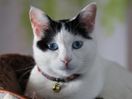 熾烈な順位争いが勃発!猫の種類・柄・名前ランキングが発表(猫の国勢調査2019)