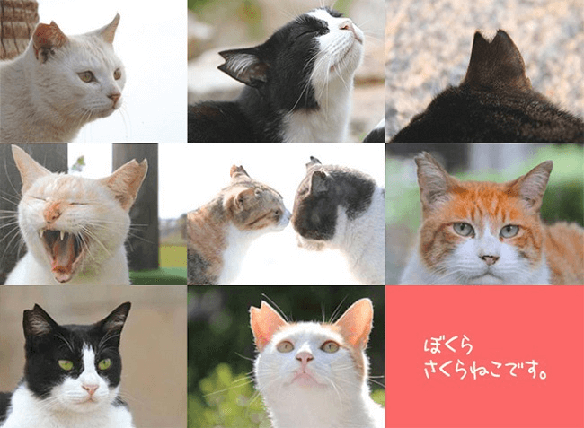 耳をV字にカットした猫に注目!どうぶつ基金が3月22日を「さくらねこの日」に制定