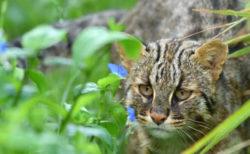 絶滅危惧種のネコ科動物「ツシマヤマネコ」の啓発イベントが神戸どうぶつ王国で開催