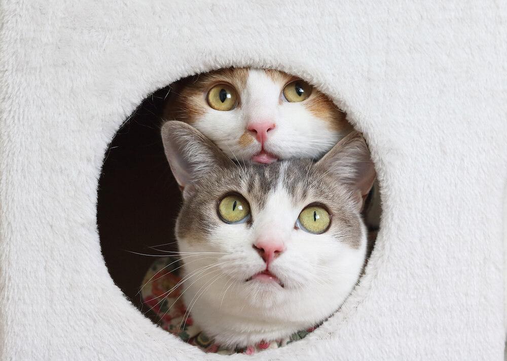 本書に登場する双子猫の「アメカヌちゃん」の写真 byRiepoyonn
