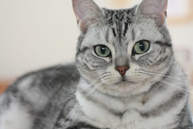 飼い猫の種類ランキング3位のアメリカンショートヘア