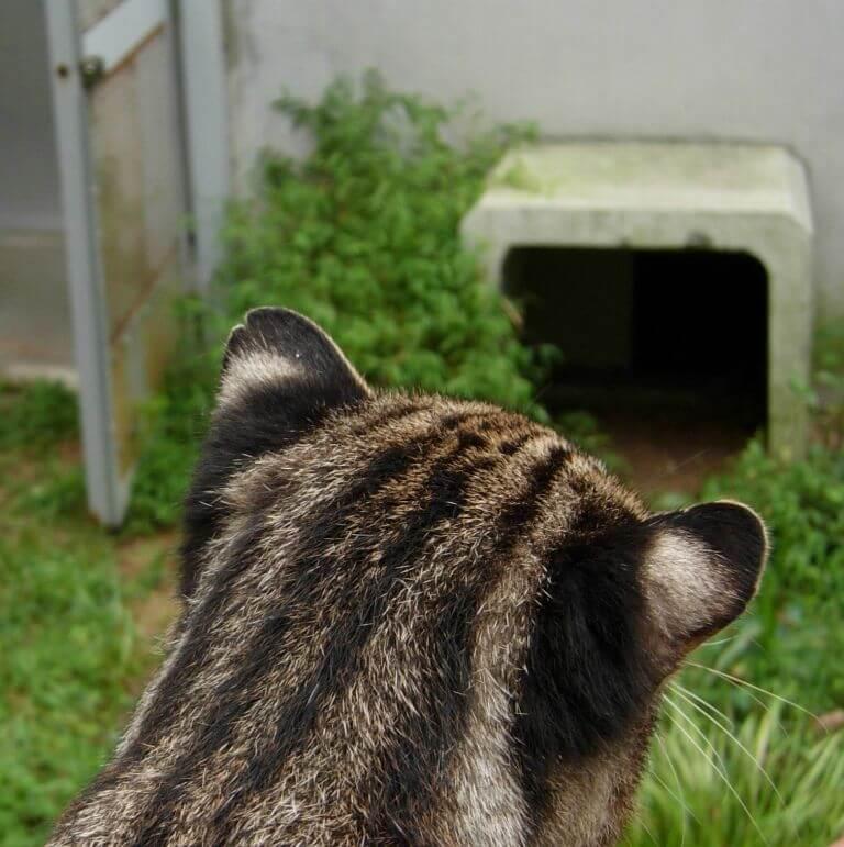 ツシマヤマネコの特徴的な丸い耳先と、耳の裏の白い斑点