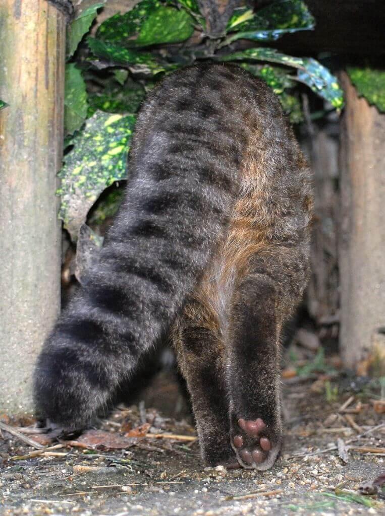 ツシマヤマネコの特徴的な太い尻尾
