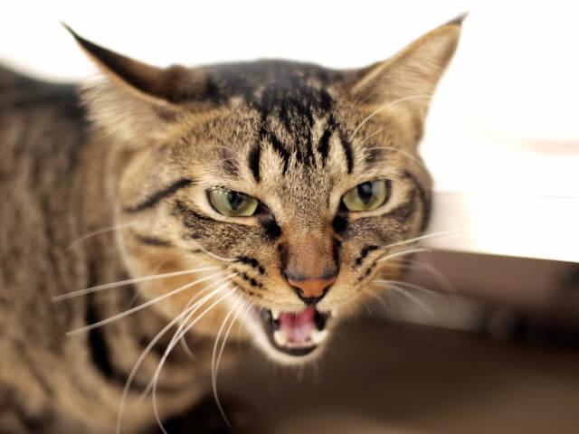 飼い猫の柄ランキング1位のキジトラ猫