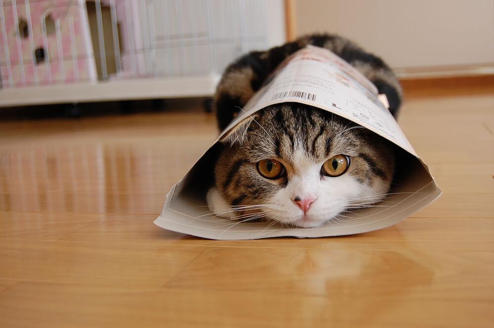 YouTubeで最も視聴された動物としてギネス世界記録に認定された猫「まる」がダンボールから顔を覗かせる写真