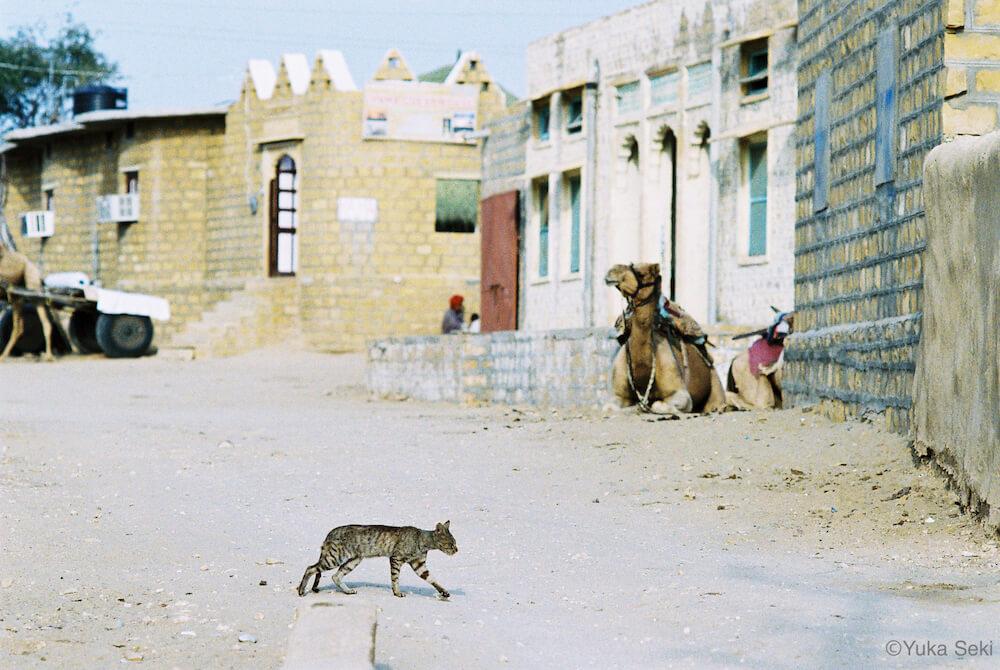 ラクダのいる街を歩く猫の写真 by 関由香