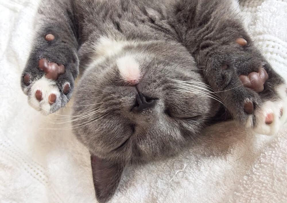 人気猫「おまめさん(@omame_munchkin)」の寝顔写真