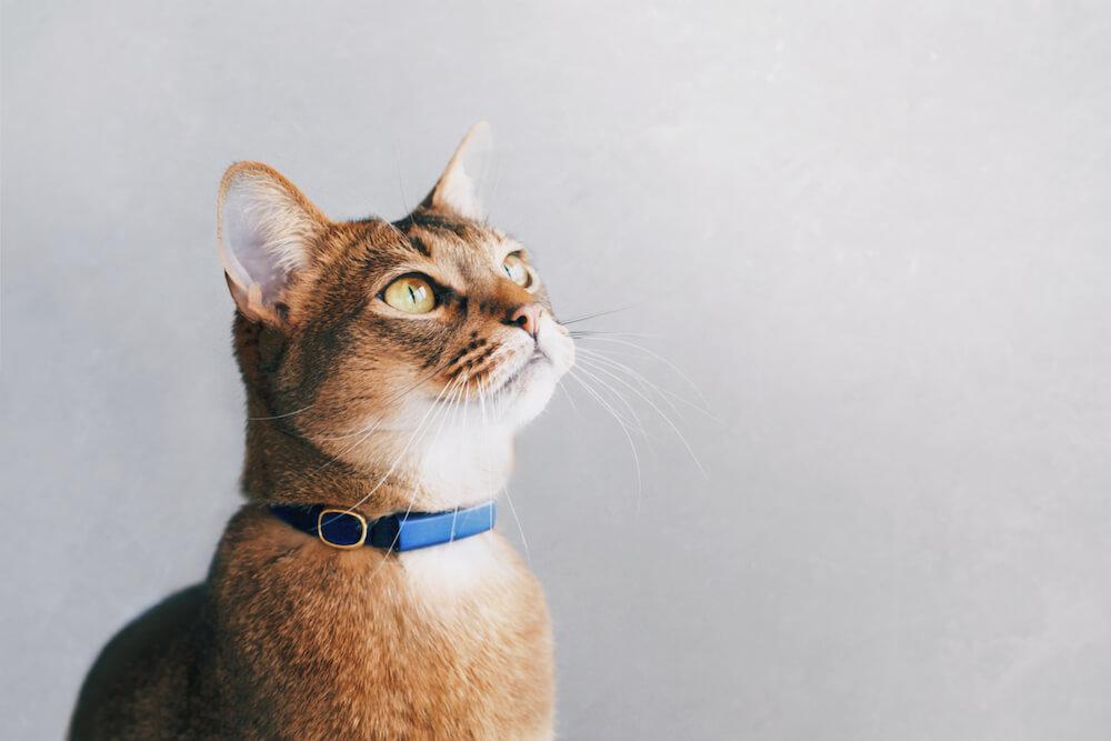 猫のための首輪型ウェアラブルデバイス「Catlog(キャトログ)」